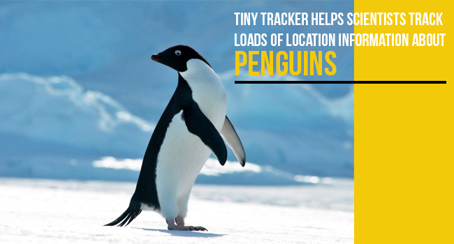 21-02-2017-Tiny-Tracker-helps-Scientists-Track-Loads-of-Location-Information-About-Penguins