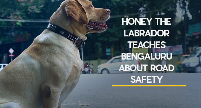 Honey the Labrador Teaches Bengaluru about Road Safety